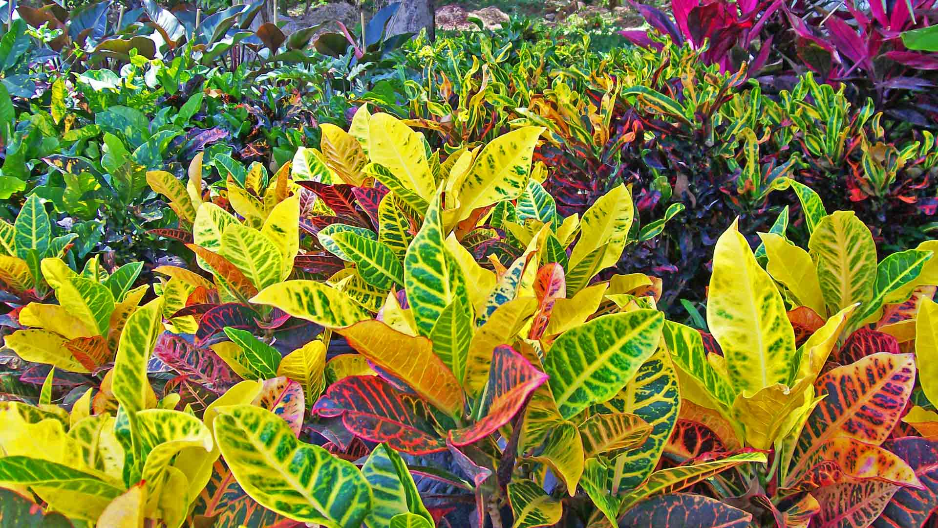 Background of Crotons for photo gallery.