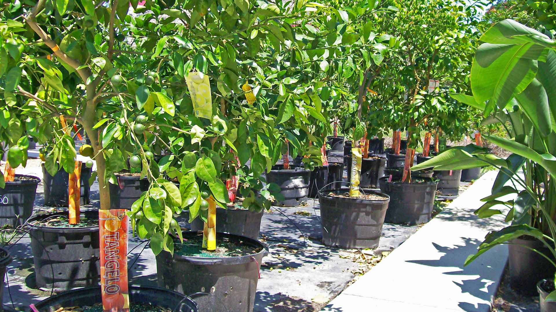 Fruit Trees For Sale at Sunman's Nursery in Fort Myers, FL