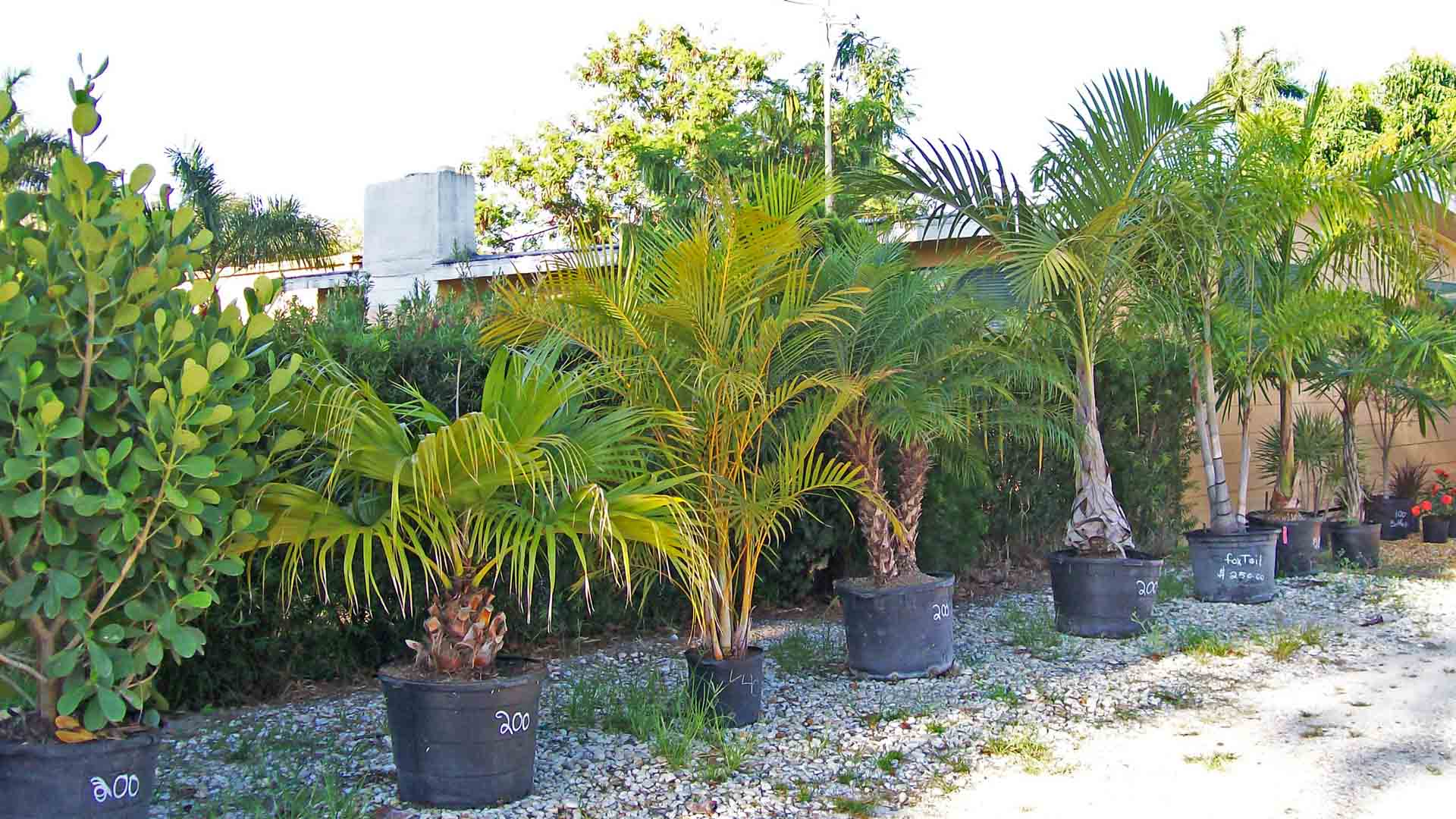 Palm Trees For Sale at Sunman's Nursery in Fort Myers, FL