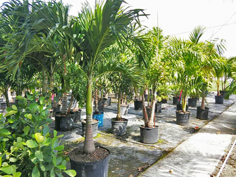 Adonidia Palm Trees For Retail And Whole In Fort Myers Fl Nursery