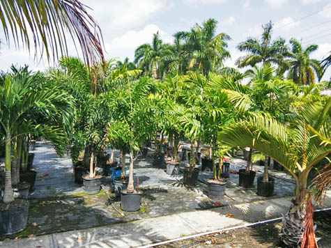 Foxtail and Bottle palm trees for retail and wholesale in Fort Myers, FL nursery.