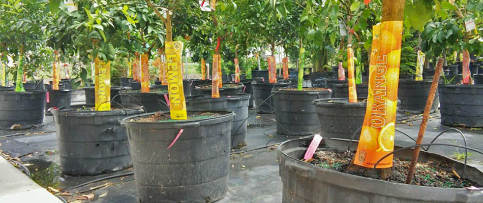 Orange and lemon fruit trees for sale at Sunman's Nursery.