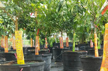 lemon and other fruit trees for sale at nursery in fort myers fl