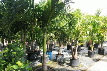 Palm Trees For In Fort Myers Fl Nursery